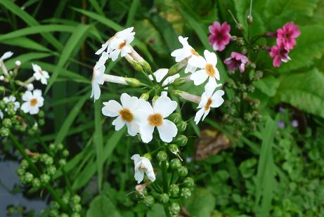 紅と白い花の九輪草