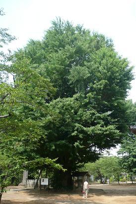 県指定の巨大なイチョウの木