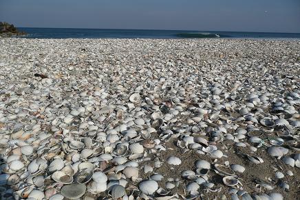 はまぐりの貝殻