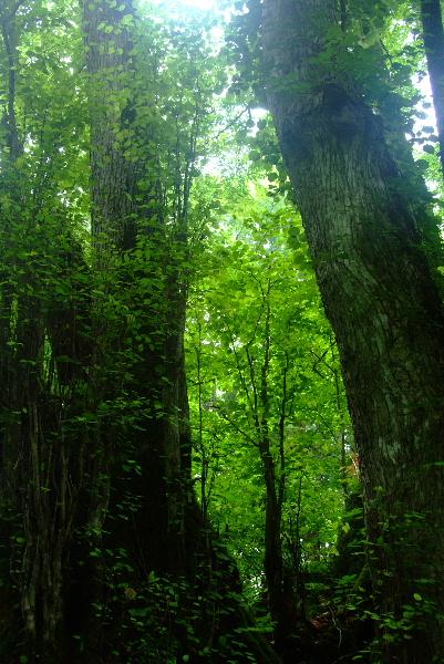 流れをまたぎ、かつらの木が聳えています