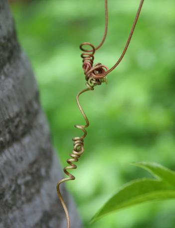 庭のトケイソウ