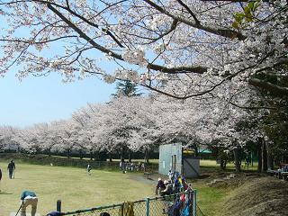 素晴らしい桜、こんな罰当たりな老人達になりたいかも・・・
