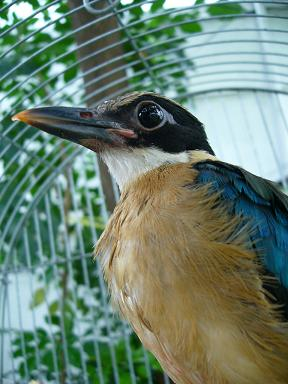 八色鳥の・・・ばか鳥もとい幸せの青い鳥です。