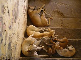 カンガーへの階段の途中に犬達が・・・