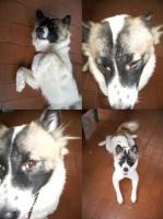 我家の番犬 モロ