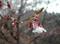 ちょいと富士桜です♪