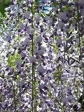 樹齢800年といわれる孔雀藤