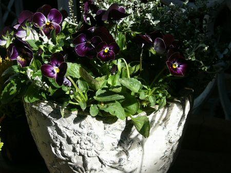 '08new ビオラロイヤルバレンタインの寄せ植え