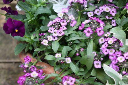 紫系冬の寄せ植え