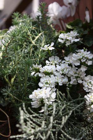 T's Garden Healing Flowers‐Gシクラメンとイベリスの白いハンギング