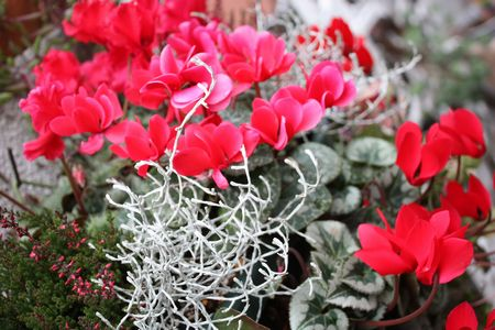 T's Garden Healing Flowers‐ガーデンシクラメンの赤いハンギング