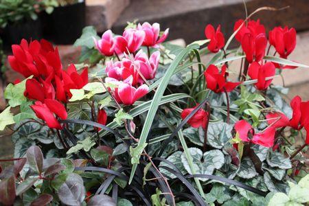 T's Garden Healing Flowers‐ガーデンシクラメンの赤い寄せ植え