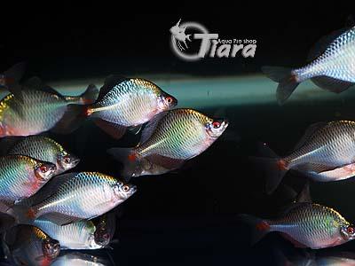 タイリクバラ