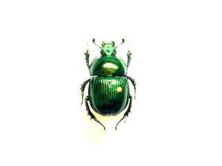 ミドリセンチ(緑)