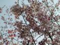 公園内桜アップ