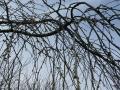 松風閣前の枝垂桜