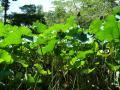 大沢の池の蓮⑨