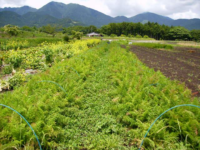にんじん畑10