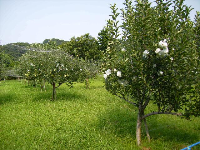 りんごの木13