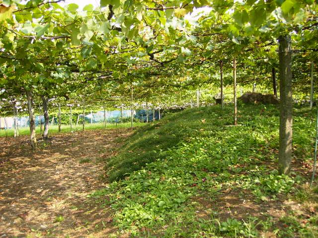 葡萄の木19