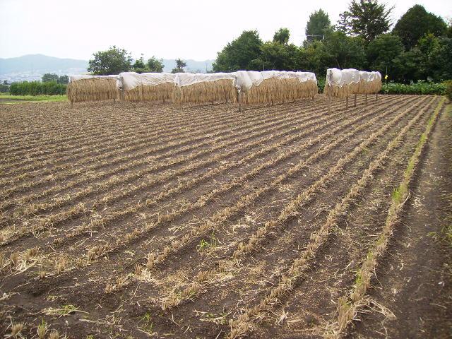 陸稲刈りいれ済09