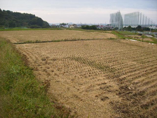 稲刈り済55