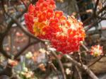 赤三椏の花79