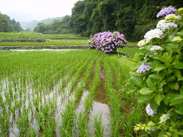 早苗と紫陽花58