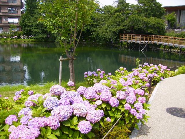 紫陽花と池112