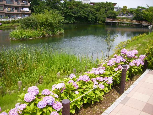 紫陽花と池124