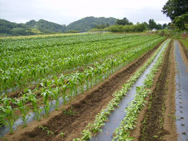 モロヘイヤ畑07
