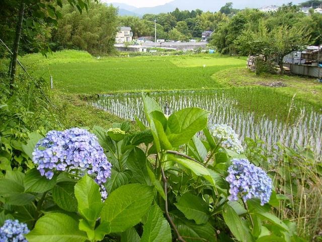 紫陽花と早苗86