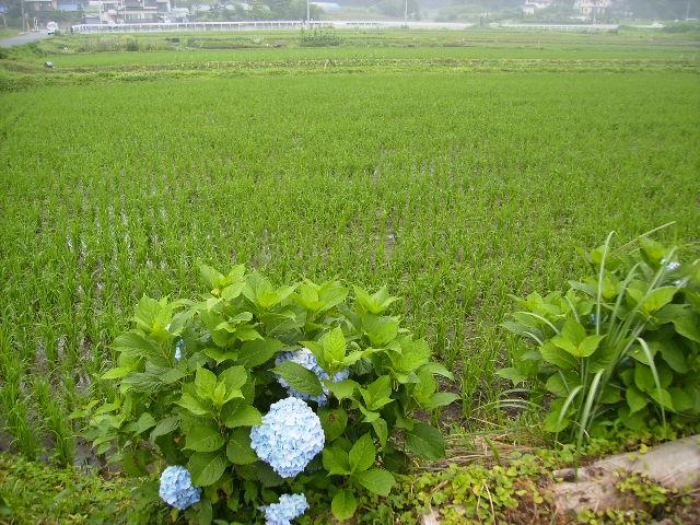 早苗と紫陽花23