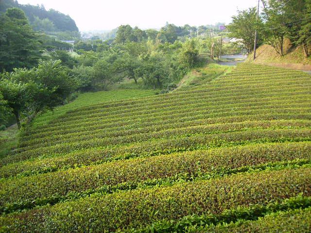 夏の茶畑98