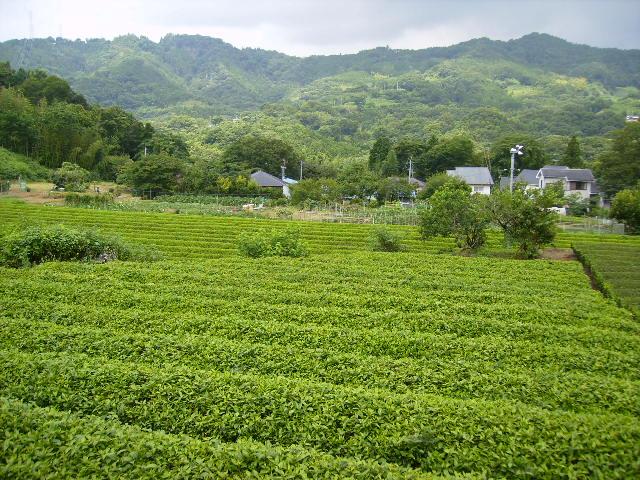 夏の茶畑43