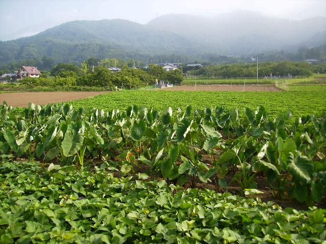 野菜畑137