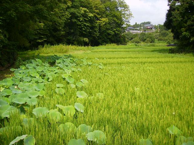 蓮と稲田21