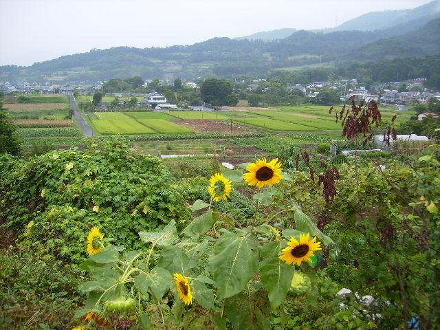 向日葵と田原盆地34