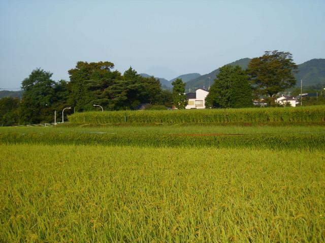 稲田と富士山12