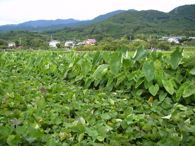 野菜畑と丹沢30