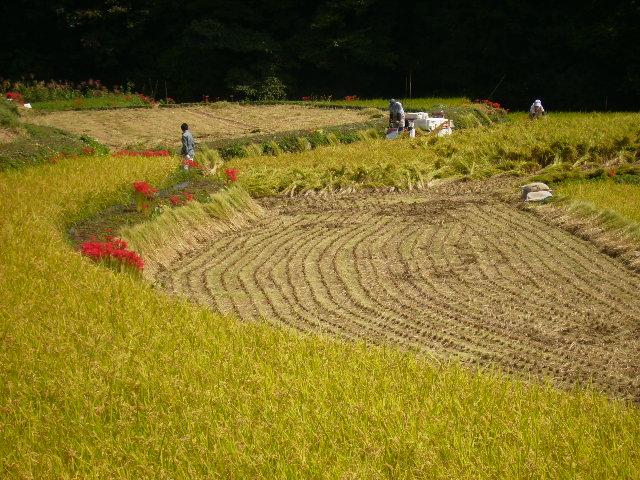 稲刈り144