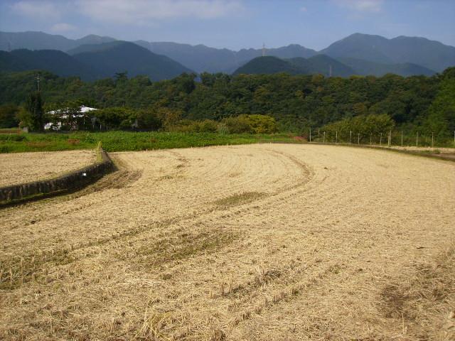 稲刈り済53