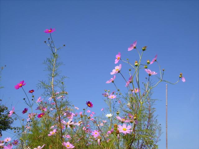 秋桜と青空09