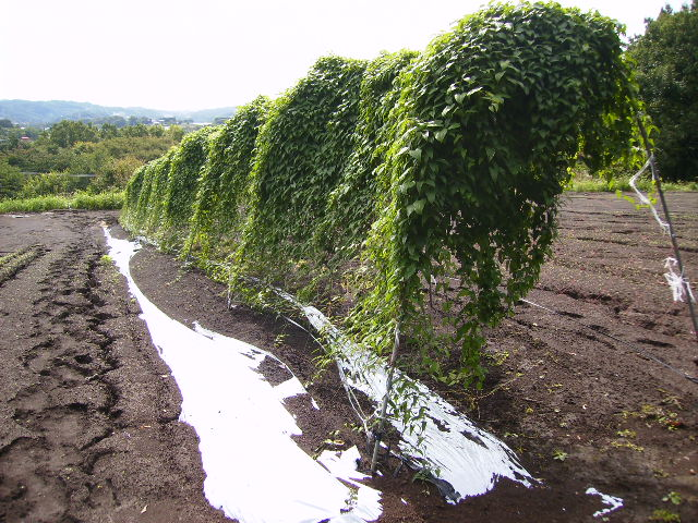 自然薯畑33