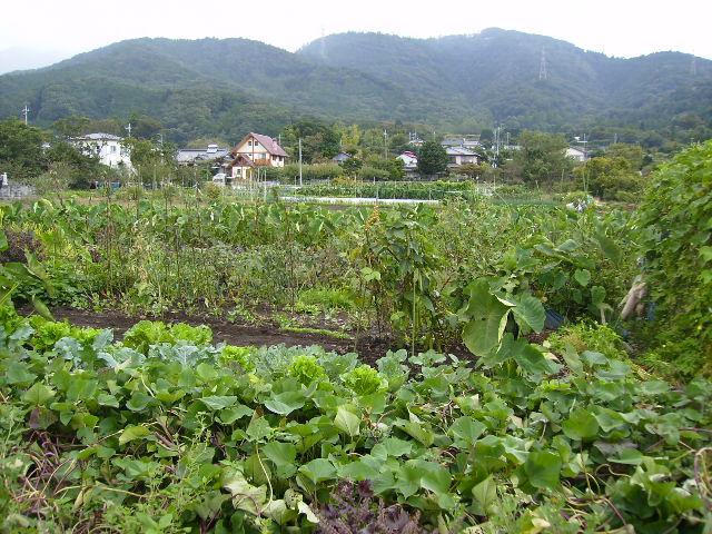 野菜畑127