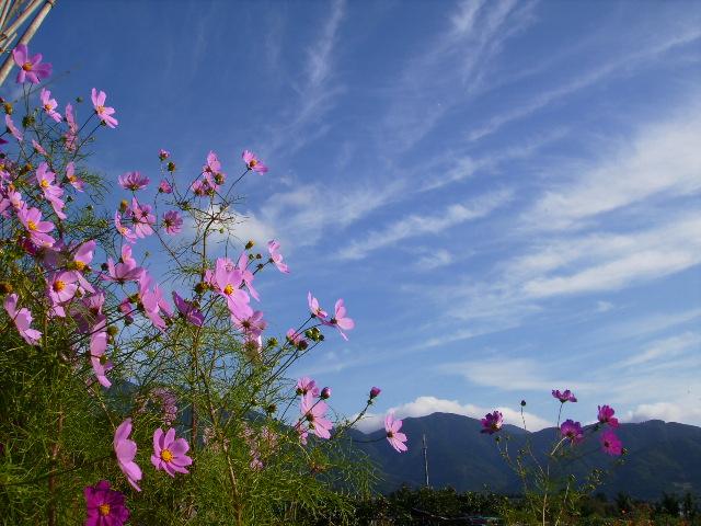 秋桜と青空17