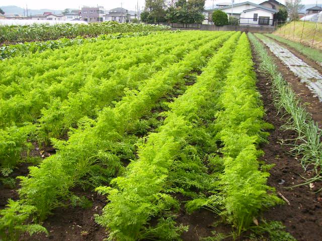 にんじん畑22