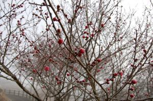 津山市久米梅の里公園開花状況作州津山商工会久米神代紅梅小梅寒梅しだれ梅