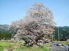 尾所の桜(おそのさくら)