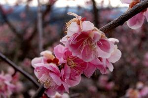 梅の里(3月13日)